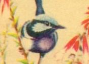 Sergeant Dan Birds of the World - Blue Wren, card 32 of a series of 40.