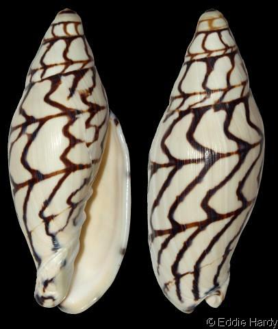 Volutoconus bednalli. Photograph by Eddie Harvey.